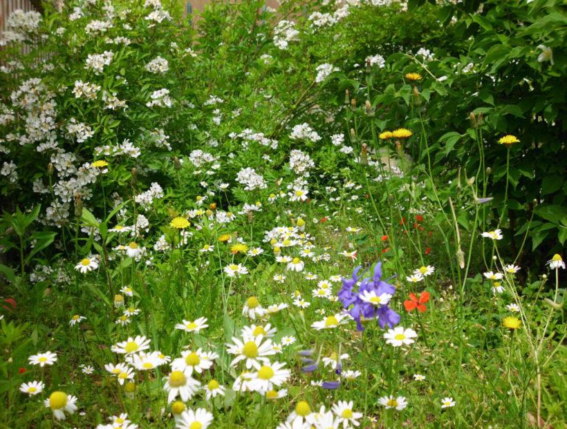 14-Garten-2012-023-Wildblumen-Süd_bea